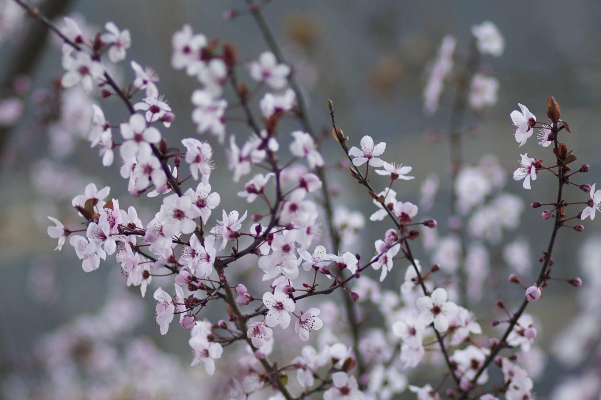 Cherry Blossoms Balboa Park