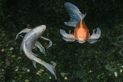 KOI FISH Self Realization Garden