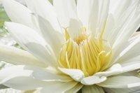 Lotus Flower Blaboa Park
